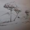 Pinus nigra - Guillaume Bailleul
