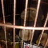 Gorille en cage - Olivier Chavaete